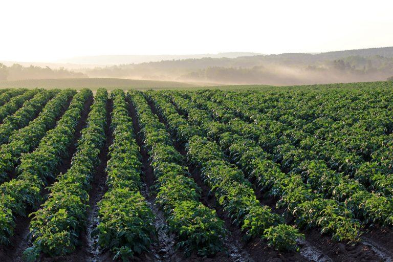 Czy są sposoby ochrony zbóż jarych w naszym kraju?